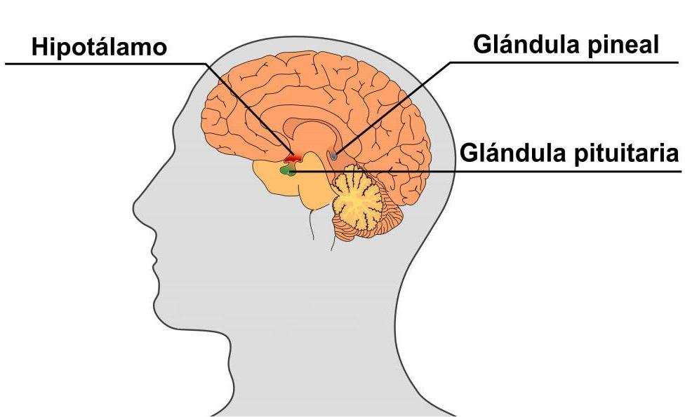 Qué permite curar la Activación de la Glándula Pineal? – Infinita ...